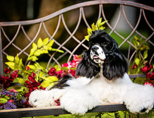Doggie Daycare – Socializing your Cocker Spaniels