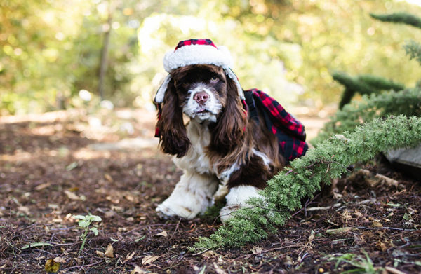 Your Cocker Spaniel's First Christmas