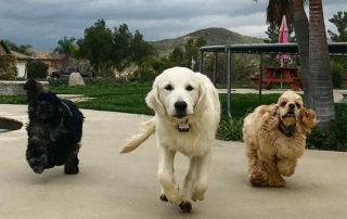 Choosing The Best Dog Walker For You Cocker Spaniel View Larger Image: