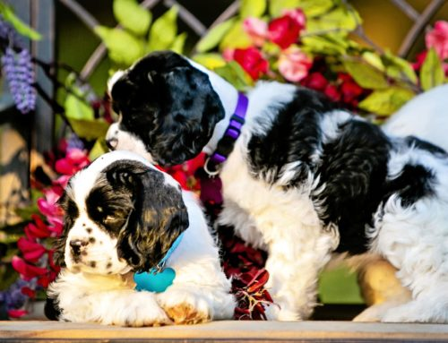 American Cocker Spaniels Dental care: Why and How to Guide