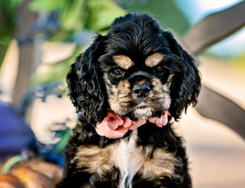 Guidelines to Cleaning Cocker Spaniel Eyes